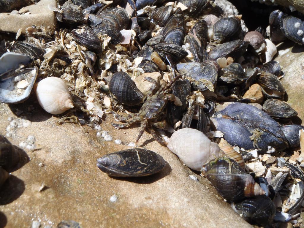 crabe et molluques