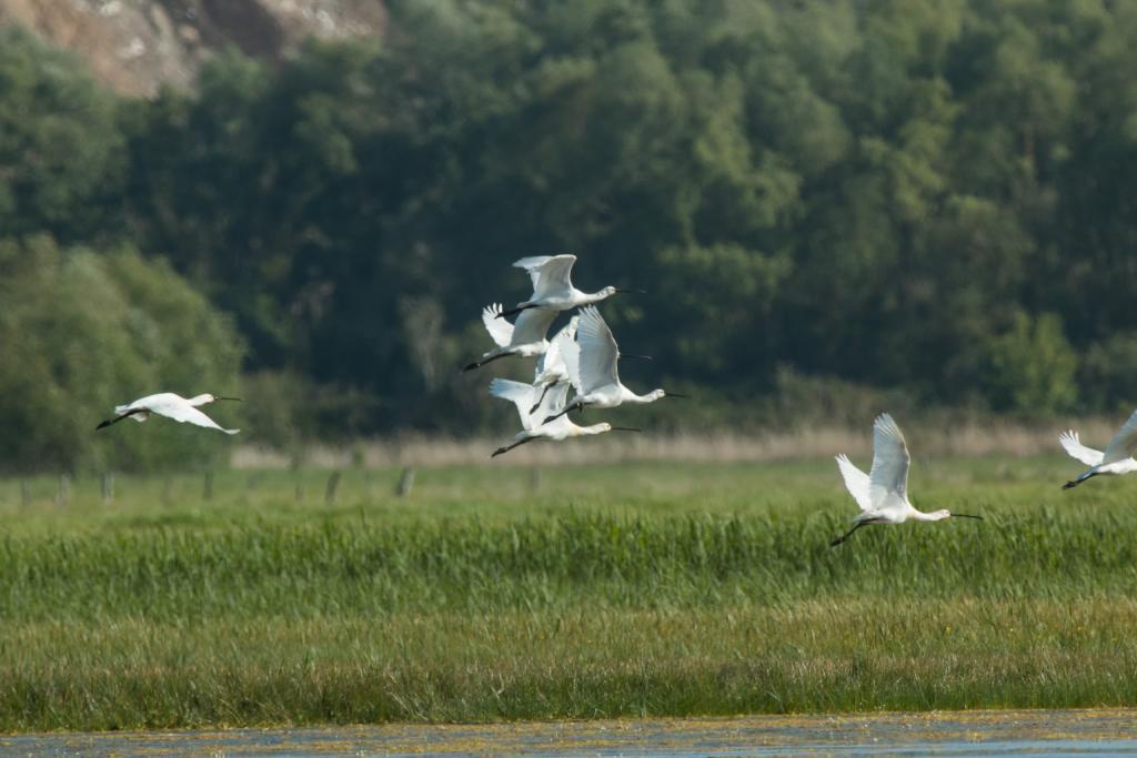 Vol de spatules blanches dans la réserve naturelle de l'estuaire de la Seine