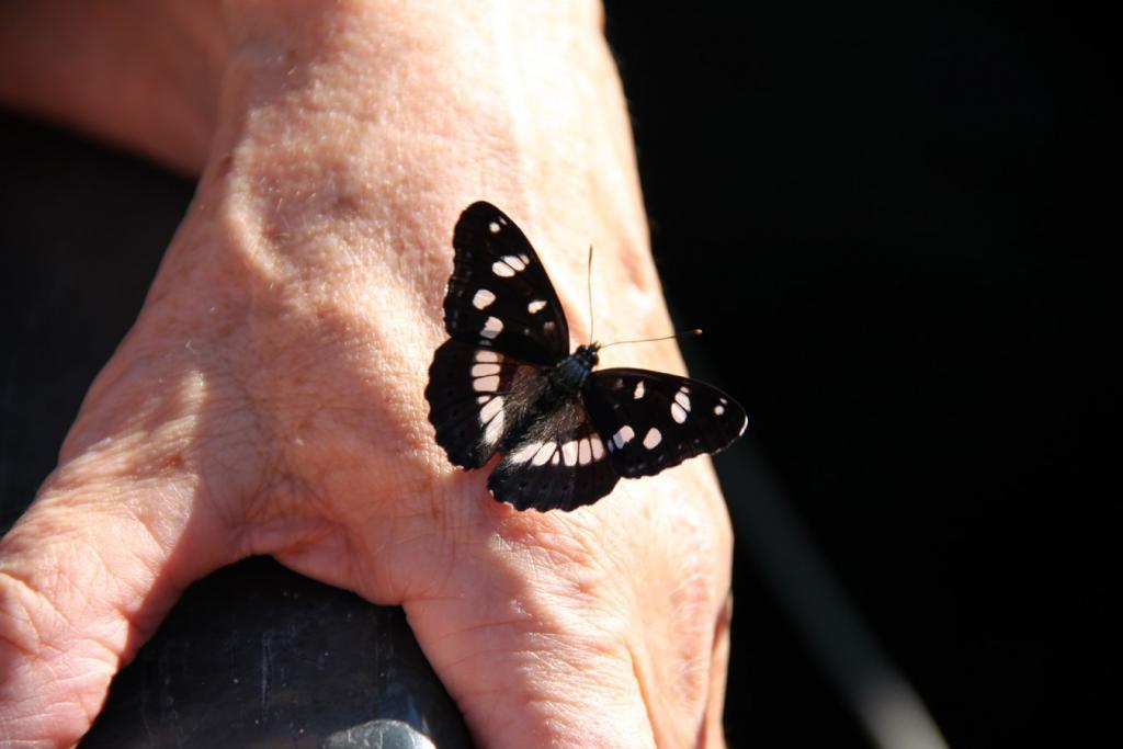 Papillon du jardin