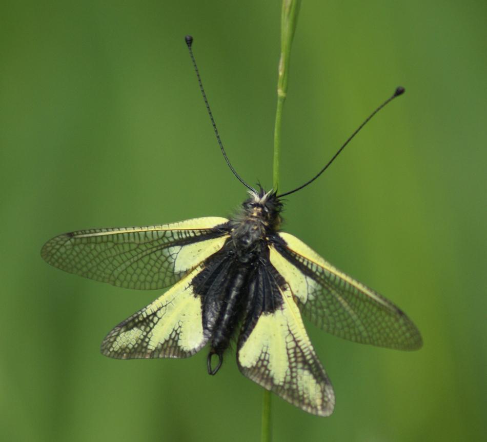 Ce n'est pas un papillon, c'est un ascalaphe