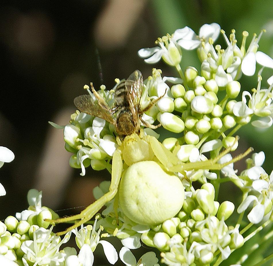 Drame sur l'ombelle : une araignée crabe a capturé une abeille