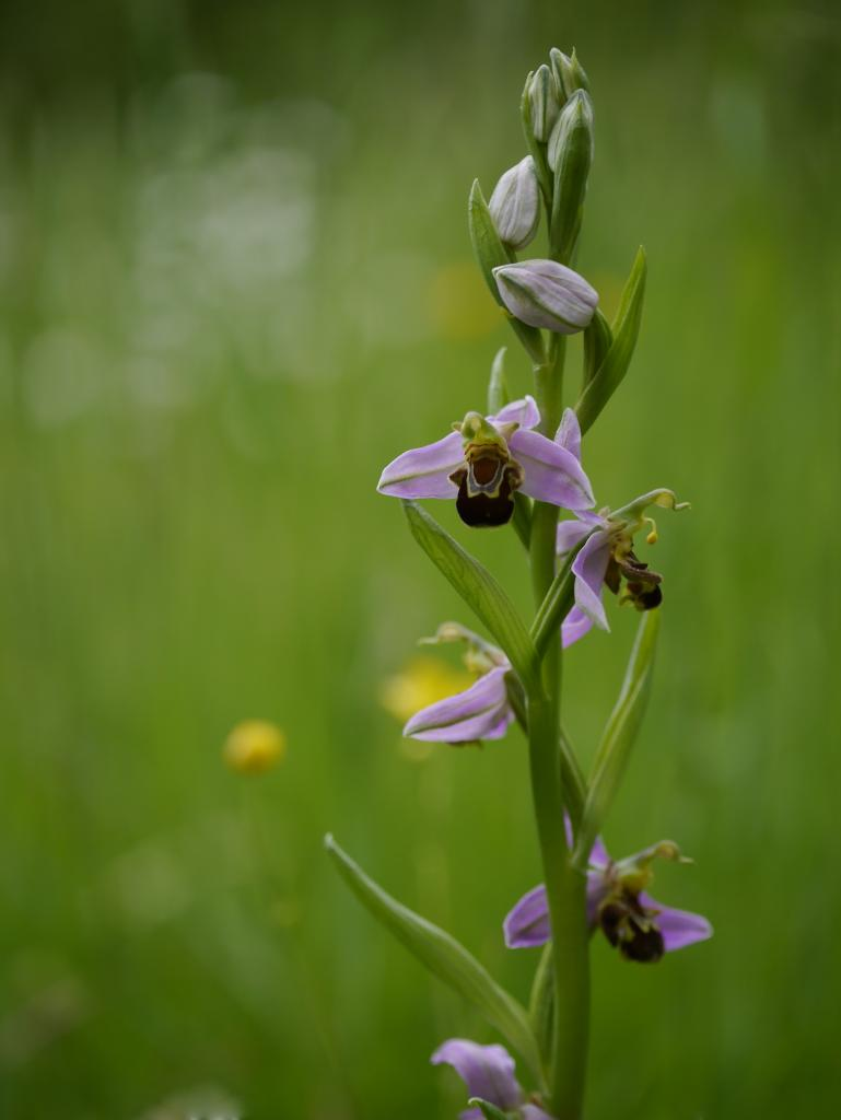 Ophrys abeille, orchidée sauvage