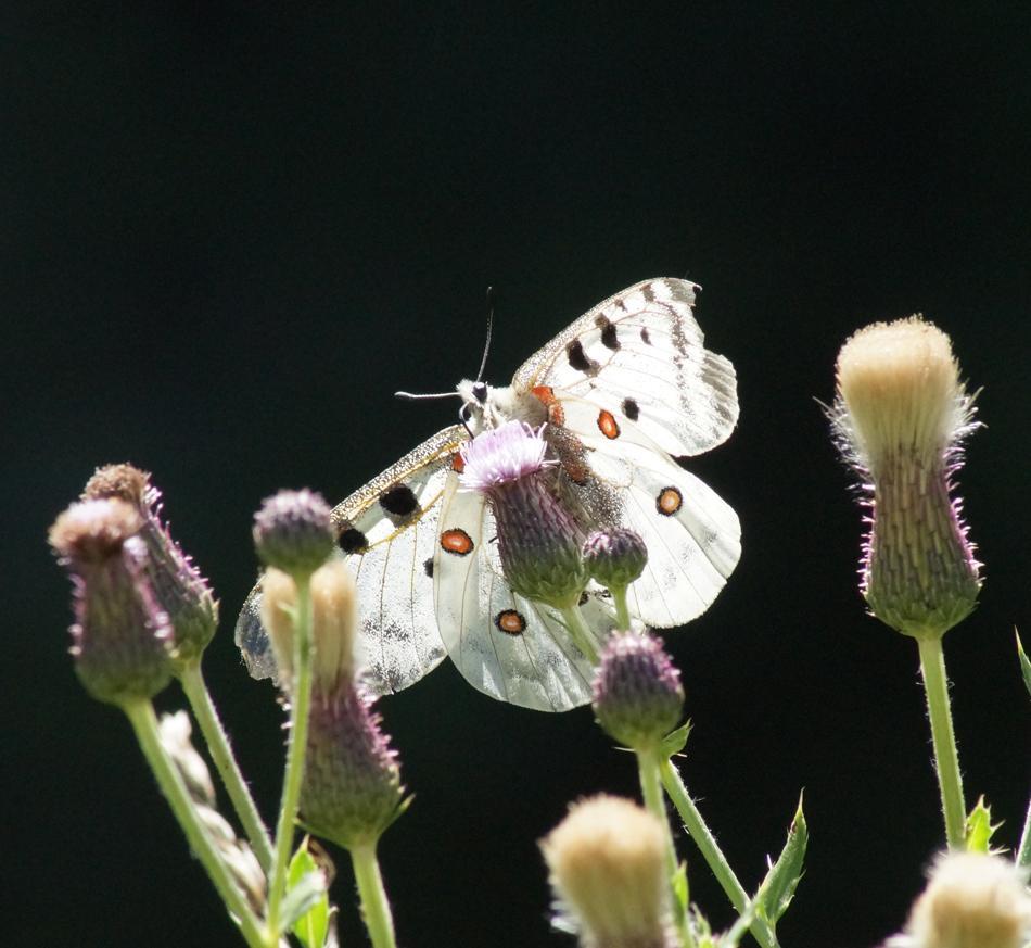 L'apollon, papillon symbole de la montagne