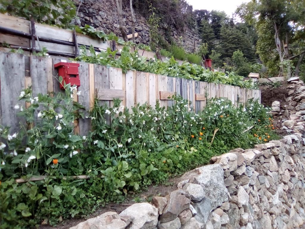 cultures de greenpeas en étage au printemps dernier